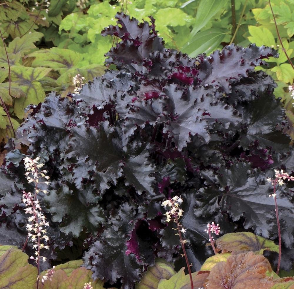 Plants for Garden Pathways Black Taffeta Heuchera #Perennials #Garden #Gardening #GroundCovers #ShadeLovingGroundCovers #Landscaping