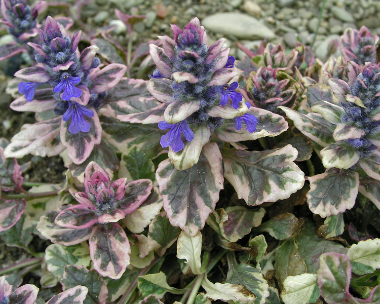 Blooming Plants that are Beneficial for Pollinators Burgundy Glow Ajuga #Perennials #Garden #Gardening #DryShadePerennials #ShadeLovingPerennials #DryShadeLovingPlants #Landscaping