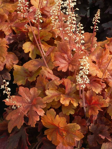 Blooming Plants that Attract Butterflies and Hummingbirds Buttered Rum Heucherella #Perennials #Garden #Gardening #DryShadePerennials #ShadeLovingPerennials #DryShadeLovingPlants #Landscaping