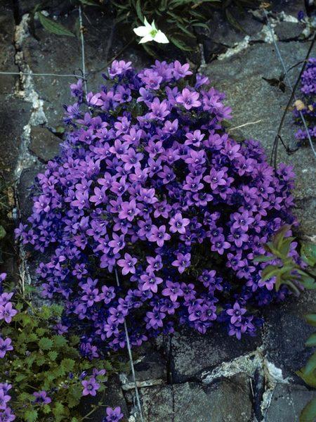 Plants for Stepping Stones Campanula Portenschlagiana #Perennials #Garden #Gardening #Groundcovers #SunLovingGroundcovers #Landscaping #PlantsforSlopes #PlantsforBanks #PlantsforStoneWalls