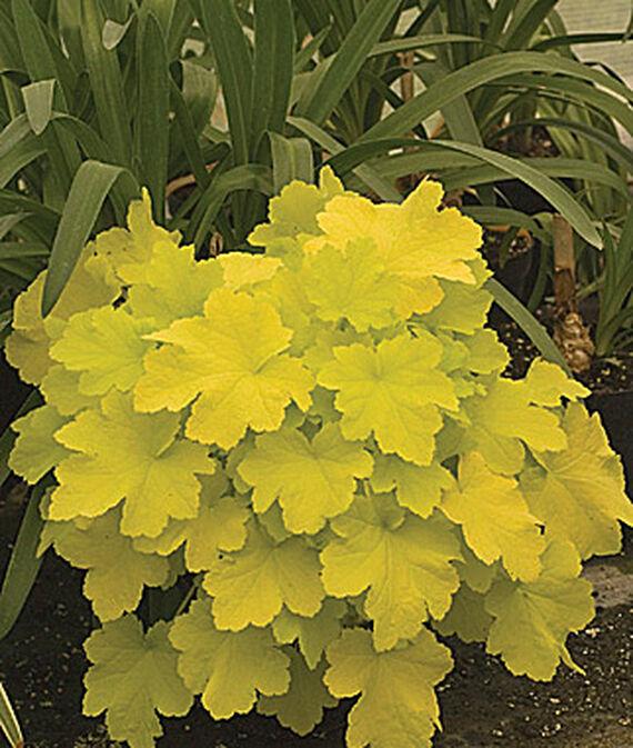 Flowering Plants for Slopes Citronelle Heuchera #Perennials #Garden #Gardening #GroundCovers #ShadeLovingGroundCovers #Landscaping