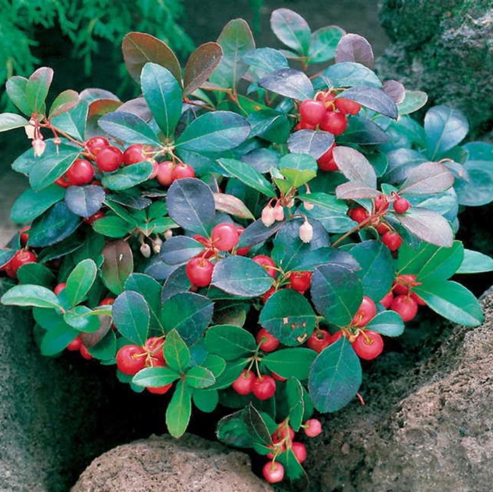 Flowering Plants for Slopes Creeping Wintergreen #Perennials #Garden #Gardening #GroundCovers #ShadeLovingGroundCovers #Landscaping