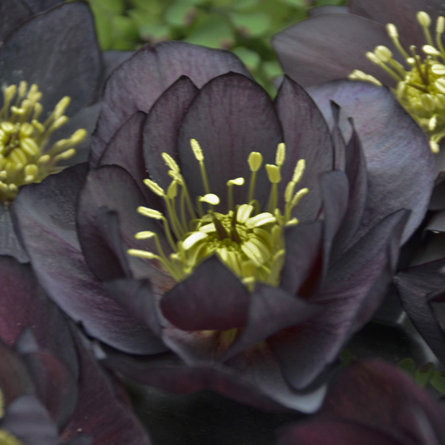 Flowering Dry Shade Perennials Dark and Handsome Helleborus #Perennials #Garden #Gardening #DryShadePerennials #ShadeLovingPerennials #DryShadeLovingPlants #Landscaping