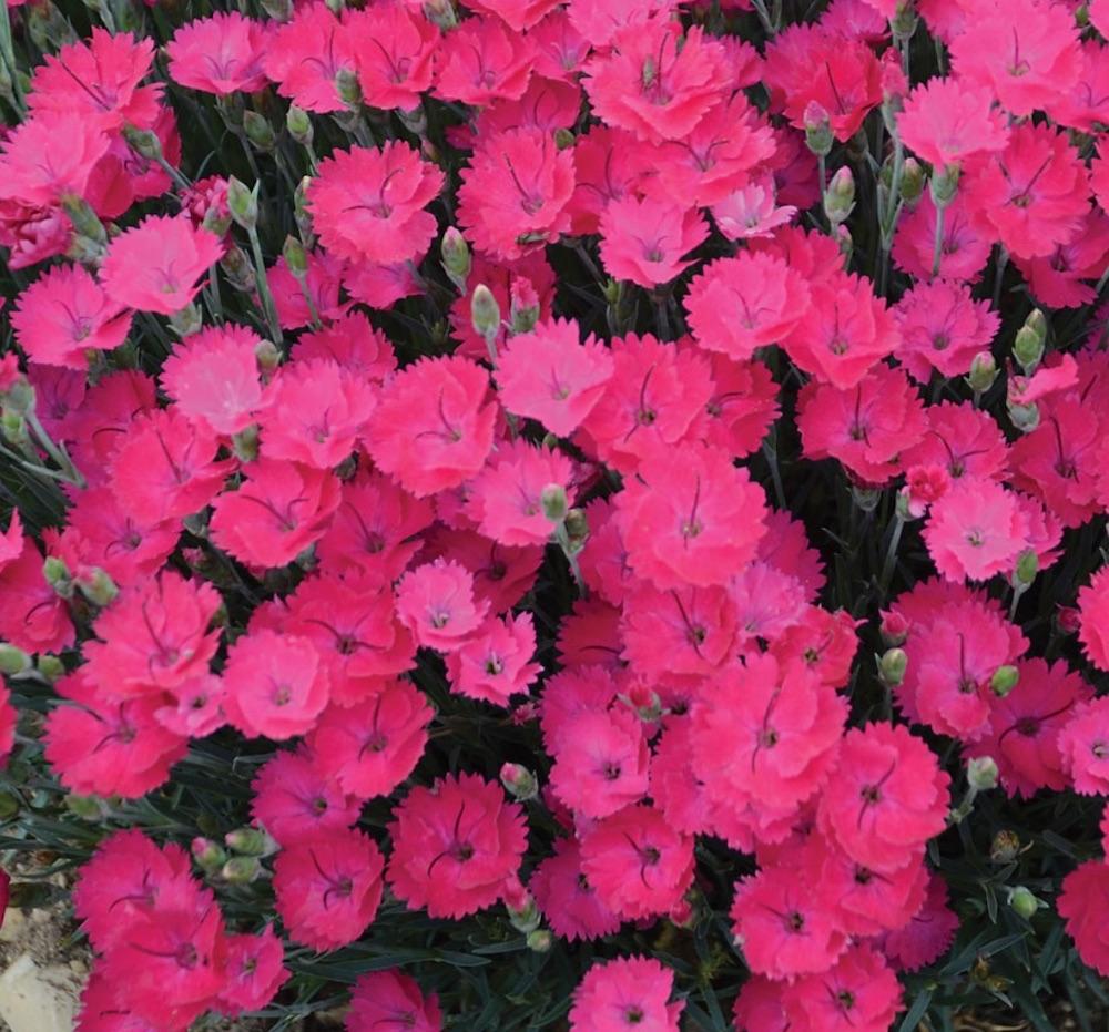 Plants for Weed Control Dianthus Paint the Town Magenta #Perennials #Garden #Gardening #Groundcovers #SunLovingGroundcovers #Landscaping #PlantsforSlopes #PlantsforBanks #PlantsforStoneWalls