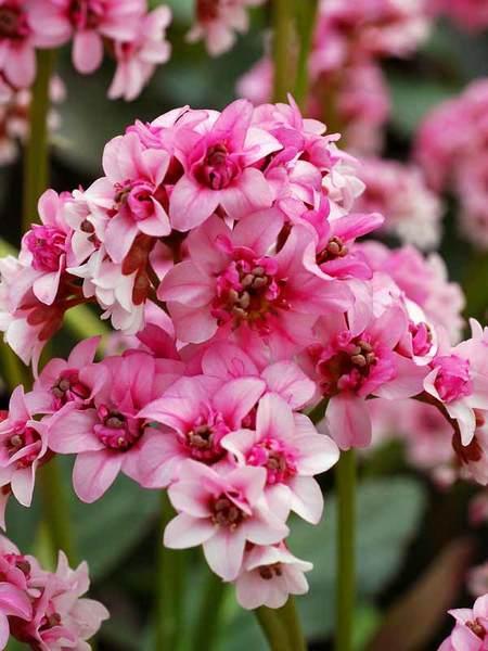 Blooming Plants for Shade Dragonfly Sakura Bergenia #Perennials #Garden #Gardening #DryShadePerennials #ShadeLovingPerennials #DryShadeLovingPlants #Landscaping
