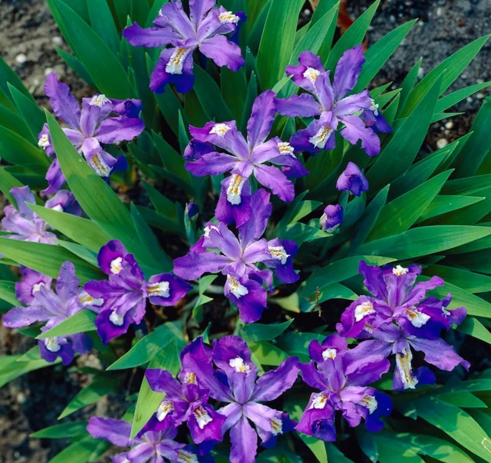 Flowering Ground Covers for Shade Dwarf Crested Iris #Perennials #Garden #Gardening #GroundCovers #ShadeLovingGroundCovers #Landscaping