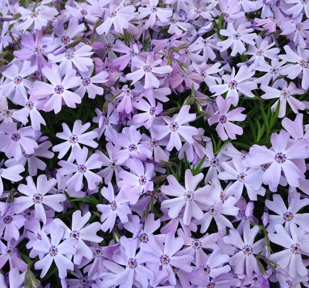 Plants for Slopes and Banks Emerald Blue Creeping Phlox #Perennials #Garden #Gardening #Groundcovers #SunLovingGroundcovers #Landscaping #PlantsforSlopes #PlantsforBanks #PlantsforStoneWalls