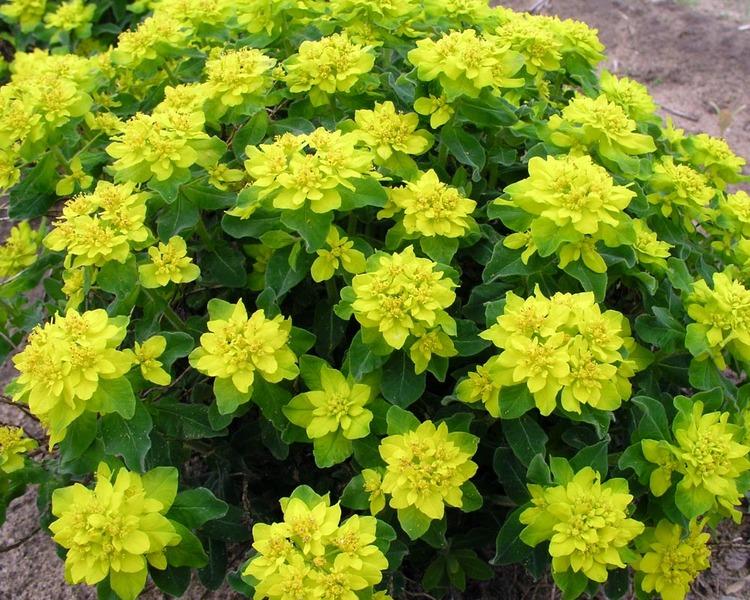 Plant that will Thrive with Less Rainfall Euphorbia Polychroma #Perennials #PlantingTips #Garden #Gardening #DryShadePerennials #ShadeLovingPerennials #DryShadeLovingPlants #Landscaping