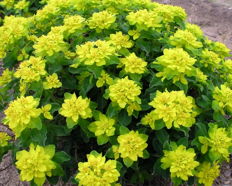 Blooming Plants that Attract Butterflies Euphorbia Polychroma #Perennials #Garden #Gardening #DryShadePerennials #ShadeLovingPerennials #DryShadeLovingPlants #Landscaping