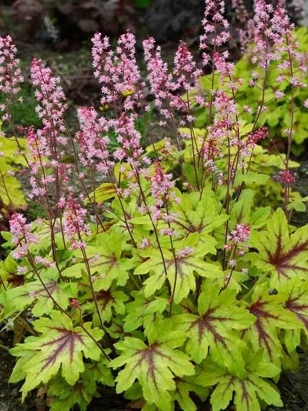 Flowering Dry Shade Perennials Eye Spy Heucherella #Perennials #Garden #Gardening #DryShadePerennials #ShadeLovingPerennials #DryShadeLovingPlants #Landscaping