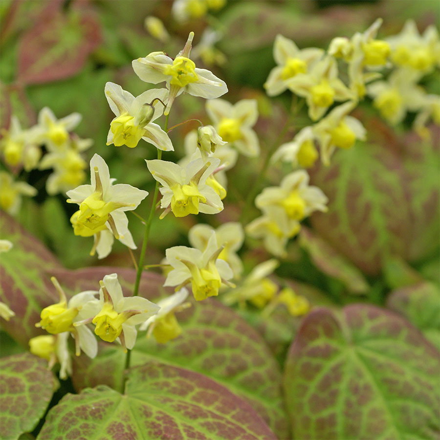 Blooming Plants as Ground Covers Fairy Wings Epimedium #Perennials #Garden #Gardening #DryShadePerennials #ShadeLovingPerennials #DryShadeLovingPlants #Landscaping