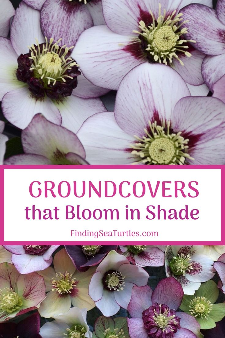 GROUND COVERS that Bloom in Shade #Perennials #Garden #Gardening #GroundCovers #ShadeLovingGroundCovers #Landscaping