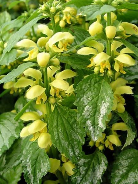 Flowering Dry Shade Perennials Galeobdolon Lamiastrum #Perennials #Garden #Gardening #DryShadePerennials #ShadeLovingPerennials #DryShadeLovingPlants #Landscaping