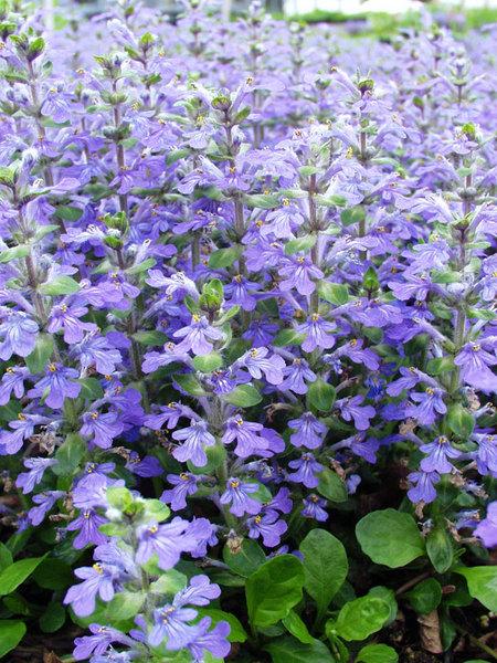 Flowering Dry Shade Perennials Genevensis Ajuga #Perennials #Garden #Gardening #DryShadePerennials #ShadeLovingPerennials #DryShadeLovingPlants #Landscaping