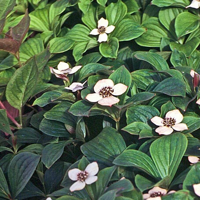Flowering Plants for Bare Garden Spots Ground Cover Dogwood #Perennials #Garden #Gardening #GroundCovers #ShadeLovingGroundCovers #Landscaping