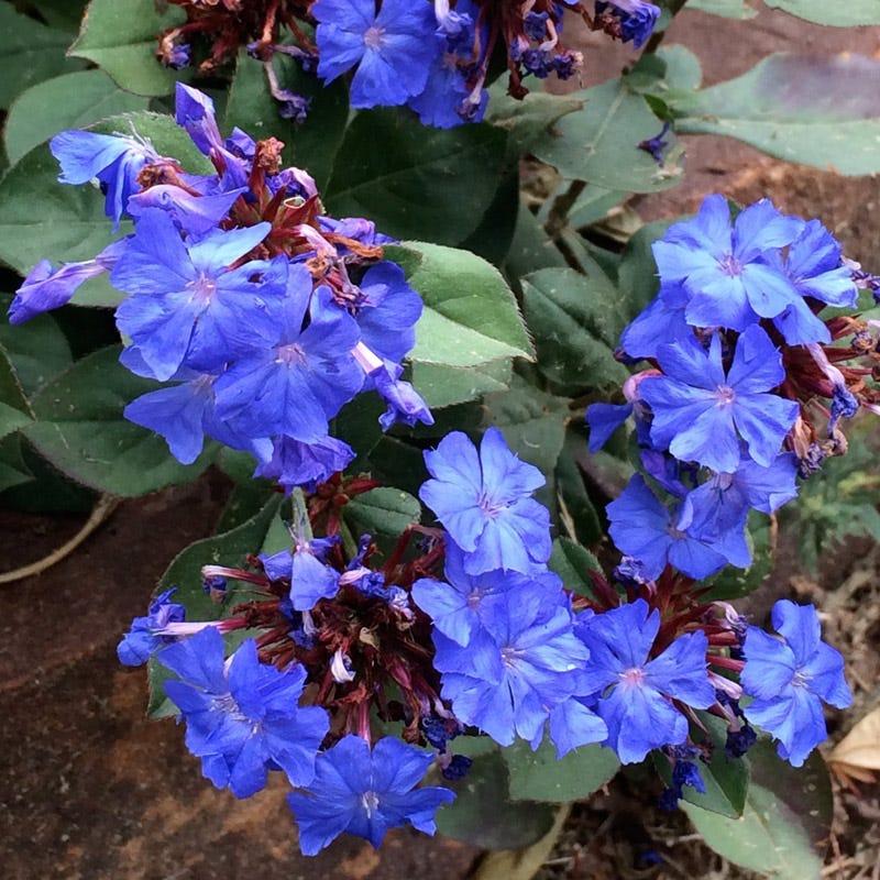 Flowering Plants for Bare Garden Spots Hardy Plumbago #Perennials #Garden #Gardening #GroundCovers #ShadeLovingGroundCovers #Landscaping