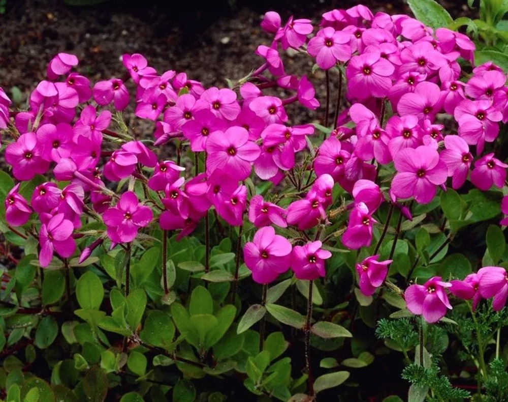 Blooming Ground Covers for Shade Home Fires Creeping Phlox #Perennials #Garden #Gardening #GroundCovers #ShadeLovingGroundCovers #Landscaping