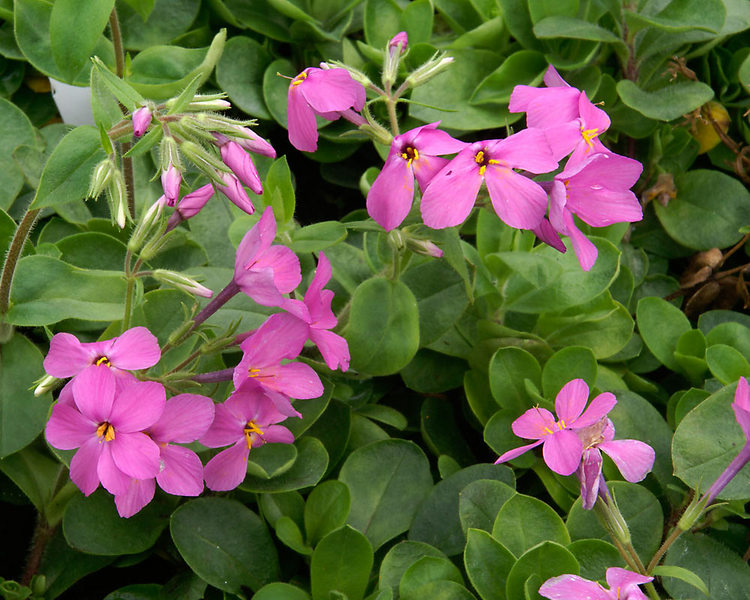 Flowering Dry Shade Perennials Home Fires Phlox #Perennials #Garden #Gardening #DryShadePerennials #ShadeLovingPerennials #DryShadeLovingPlants #Landscaping