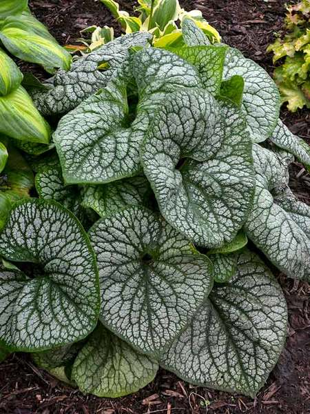 Blooming Drought Tolerant Jack of Diamonds Brunnera #Perennials #Garden #Gardening #DryShadePerennials #ShadeLovingPerennials #DryShadeLovingPlants #Landscaping