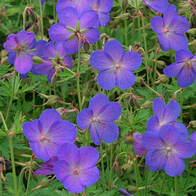 Flowering Ground Covers for Sun Johnson's Blue Geranium #Perennials #Garden #Gardening #Groundcovers #SunLovingGroundcovers #Landscaping #PlantsforSlopes #PlantsforBanks #PlantsforStoneWalls