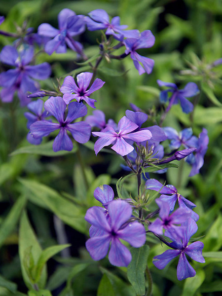 Blooming Plants to Attract Butterflies Louisiana Blue Phlox #Perennials #Garden #Gardening #DryShadePerennials #ShadeLovingPerennials #DryShadeLovingPlants #Landscaping