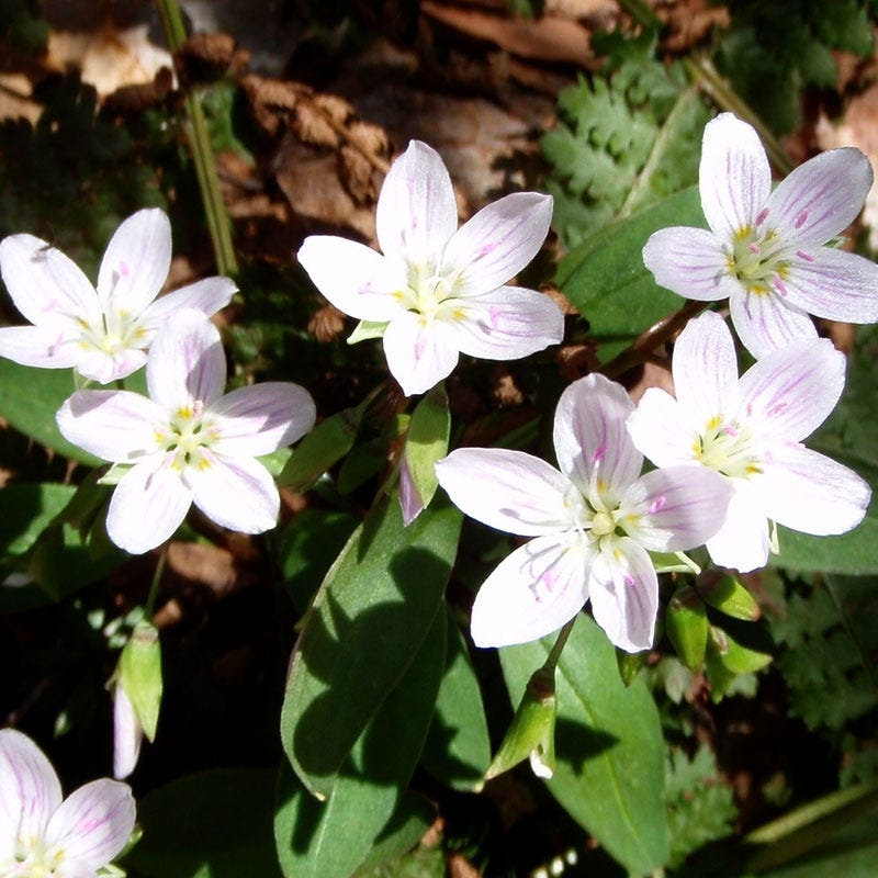 Flowering Plants for Shady Gardens Mayflower Trailing Arbutus #Perennials #Garden #Gardening #GroundCovers #ShadeLovingGroundCovers #Landscaping