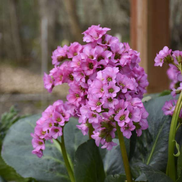 Flowering Dry Shade Perennials Miss Piggy Bergenia #Perennials #Garden #Gardening #DryShadePerennials #ShadeLovingPerennials #DryShadeLovingPlants #Landscaping