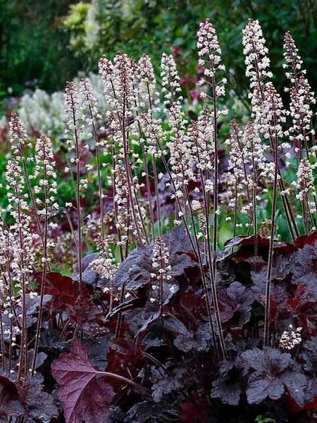 Flowering Dry Shade Perennials Onyx Heucherella #Perennials #Garden #Gardening #DryShadePerennials #ShadeLovingPerennials #DryShadeLovingPlants #Landscaping
