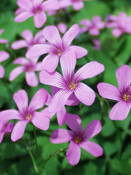 Plants for Difficult Growing Areas with Sun Oxalis Crassipes Rosea #Perennials #Garden #Gardening #Groundcovers #SunLovingGroundcovers #Landscaping #PlantsforSlopes #PlantsforBanks #PlantsforStoneWalls