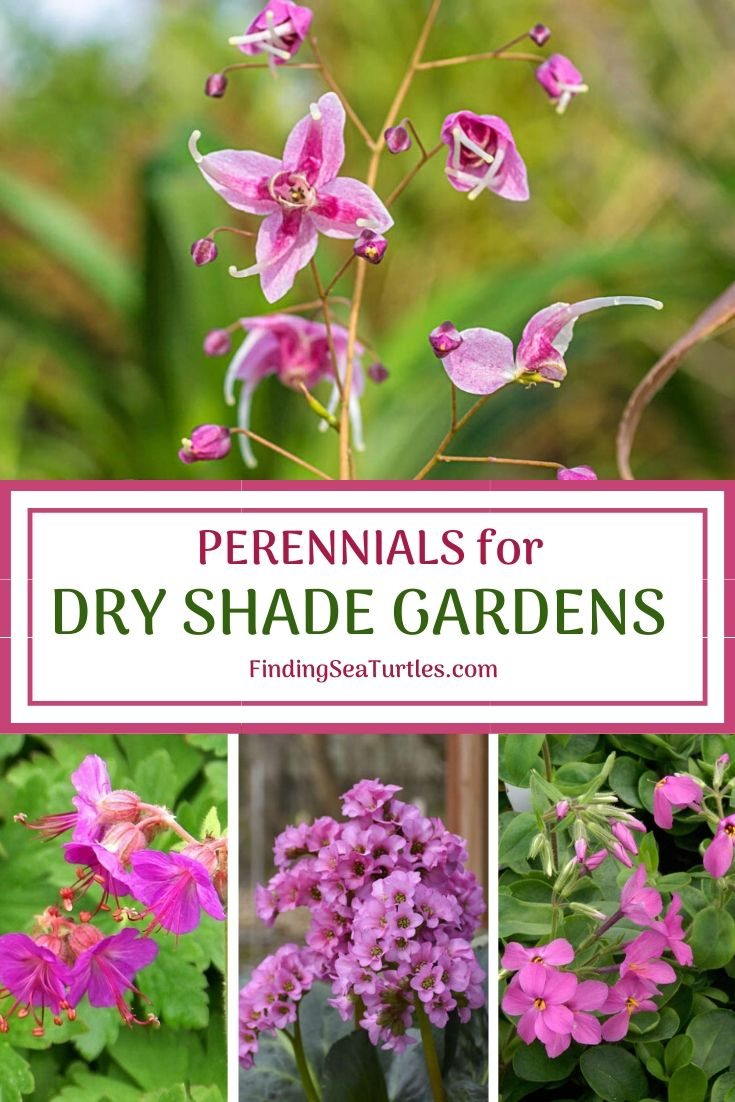 Perennials for Dry Shade Gardens #Perennials #Garden #Gardening #DryShadePerennials #ShadeLovingPerennials #DryShadeLovingPlants #Landscaping