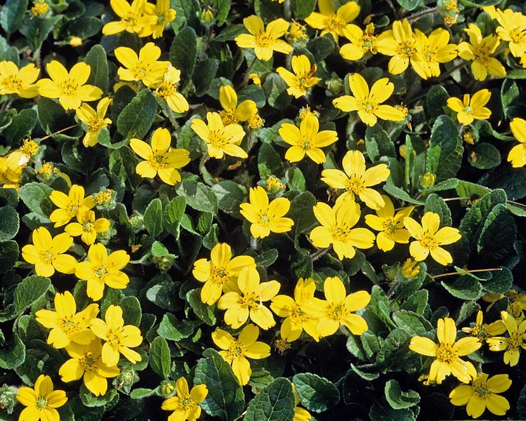 Blooming Plants as Ground Cover Pierre Chrysogonum #Perennials #Garden #Gardening #DryShadePerennials #ShadeLovingPerennials #DryShadeLovingPlants #Landscaping