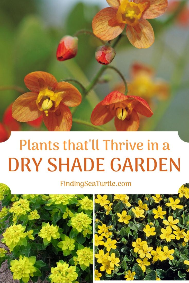 Plants that'll Thrive in a Dry Shade Garden #Perennials #Garden #Gardening #DryShadePerennials #ShadeLovingPerennials #DryShadeLovingPlants #Landscaping