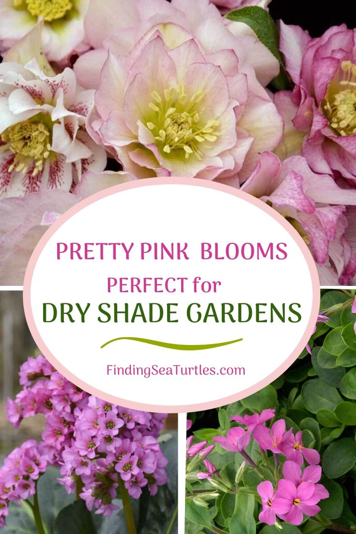 Pretty Pink Blooms Perfect for Dry Shade Gardens #Perennials #Garden #Gardening #DryShadePerennials #ShadeLovingPerennials #DryShadeLovingPlants #Landscaping