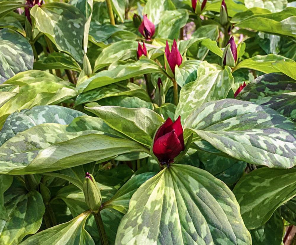 Flowering Plants for Slopes Purple Prairie Trillium #Perennials #Garden #Gardening #GroundCovers #ShadeLovingGroundCovers #Landscaping