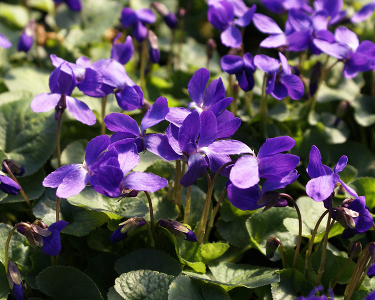 Flowering Plants for Slopes and Banks Queen Charlotte Viola #Perennials #Garden #Gardening #GroundCovers #ShadeLovingGroundCovers #Landscaping