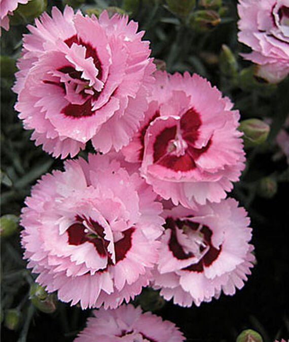 Plants for Weed Suppression Raspberry Surprise Dianthus #Perennials #Garden #Gardening #Groundcovers #SunLovingGroundcovers #Landscaping #PlantsforSlopes #PlantsforBanks #PlantsforStoneWalls