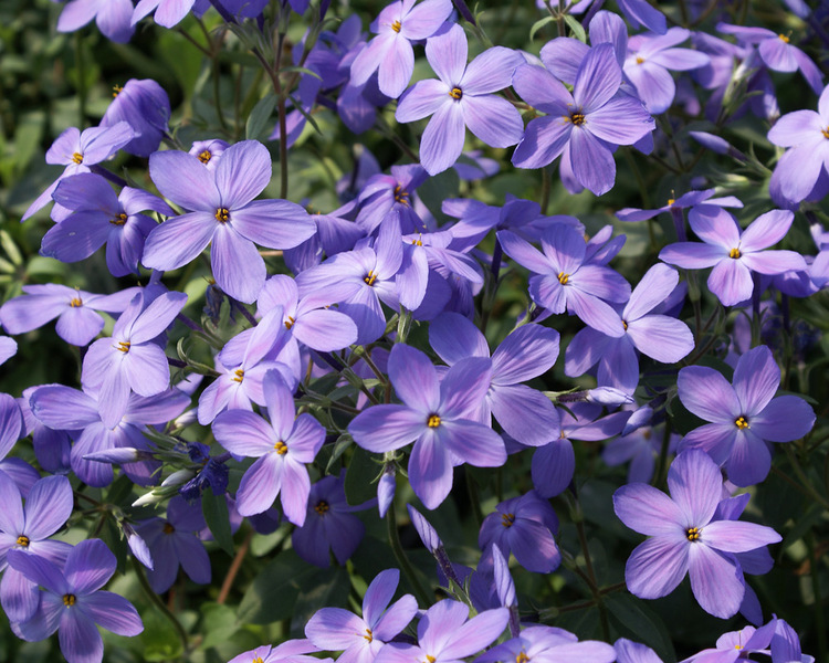 Flowering Dry Shade Perennials Sherwood Purple Phlox #Perennials #Garden #Gardening #DryShadePerennials #ShadeLovingPerennials #DryShadeLovingPlants #Landscaping