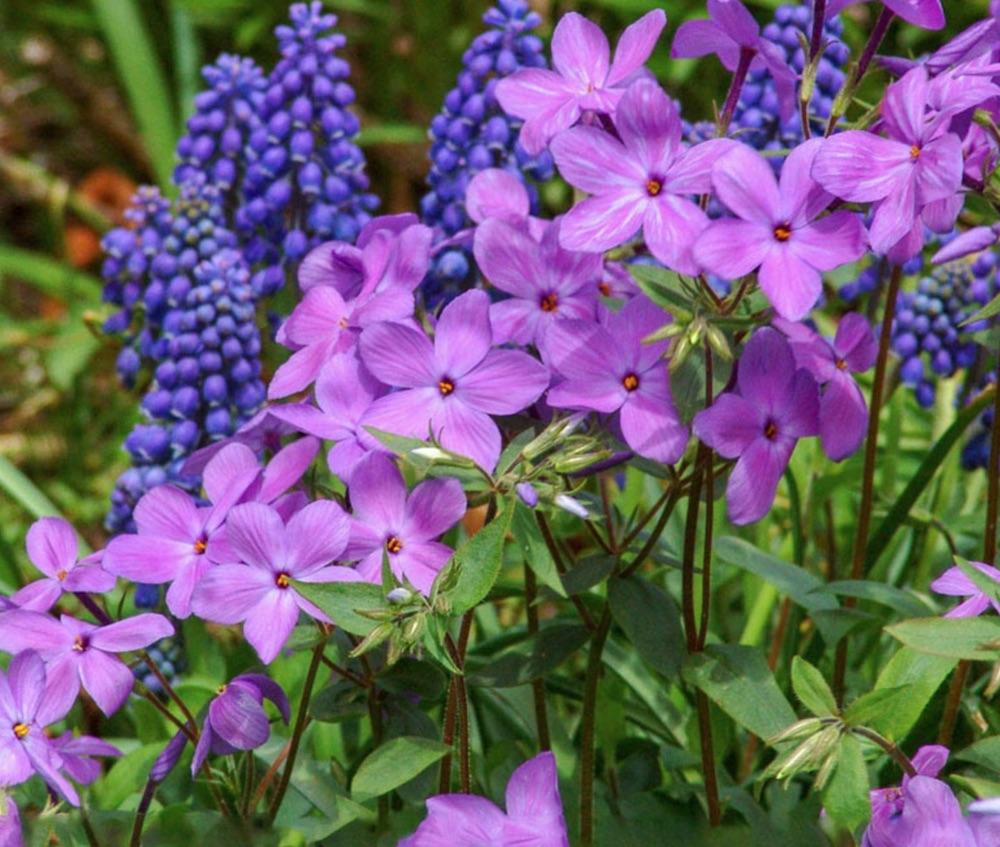 Flowering Plants for Garden Pathways Sherwood Purple Woodland Phlox #Perennials #Garden #Gardening #GroundCovers #ShadeLovingGroundCovers #Landscaping