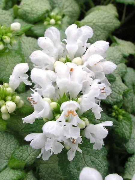 Flowering Dry Shade Perennials White Nancy Lamium #Perennials #Garden #Gardening #DryShadePerennials #ShadeLovingPerennials #DryShadeLovingPlants #Landscaping