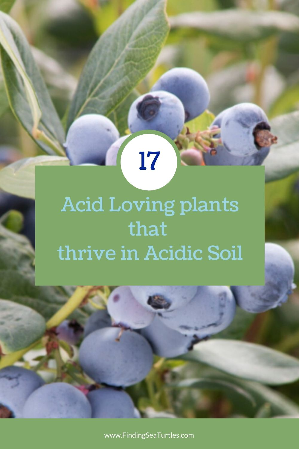 17 Acid Loving Plants that thrive in Acidic Soil #Perennials #AcidLovingPerennials #AcidLovingPlants #Gardening #AcidicSoil