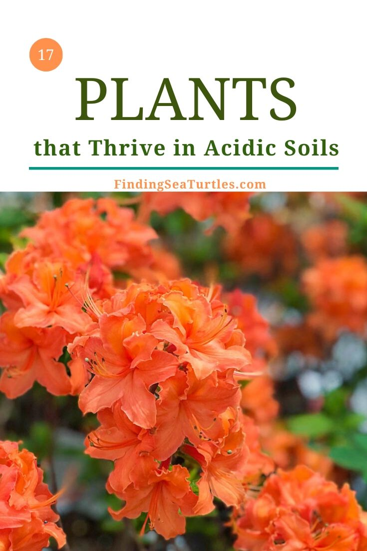 17 Plants that Thrive in Acidic Soils #Perennials #AcidLovingPerennials #AcidLovingPlants #Gardening #AcidicSoil