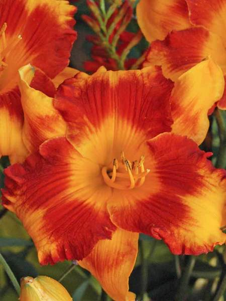 Plants that Thrive in Clay Soils Adorable Tiger Hemerocallis #Perennials #ClayTolerantPerennials #PlantsThatThriveinClay #Gardening #ClaySoil #TolerantofClaySoils