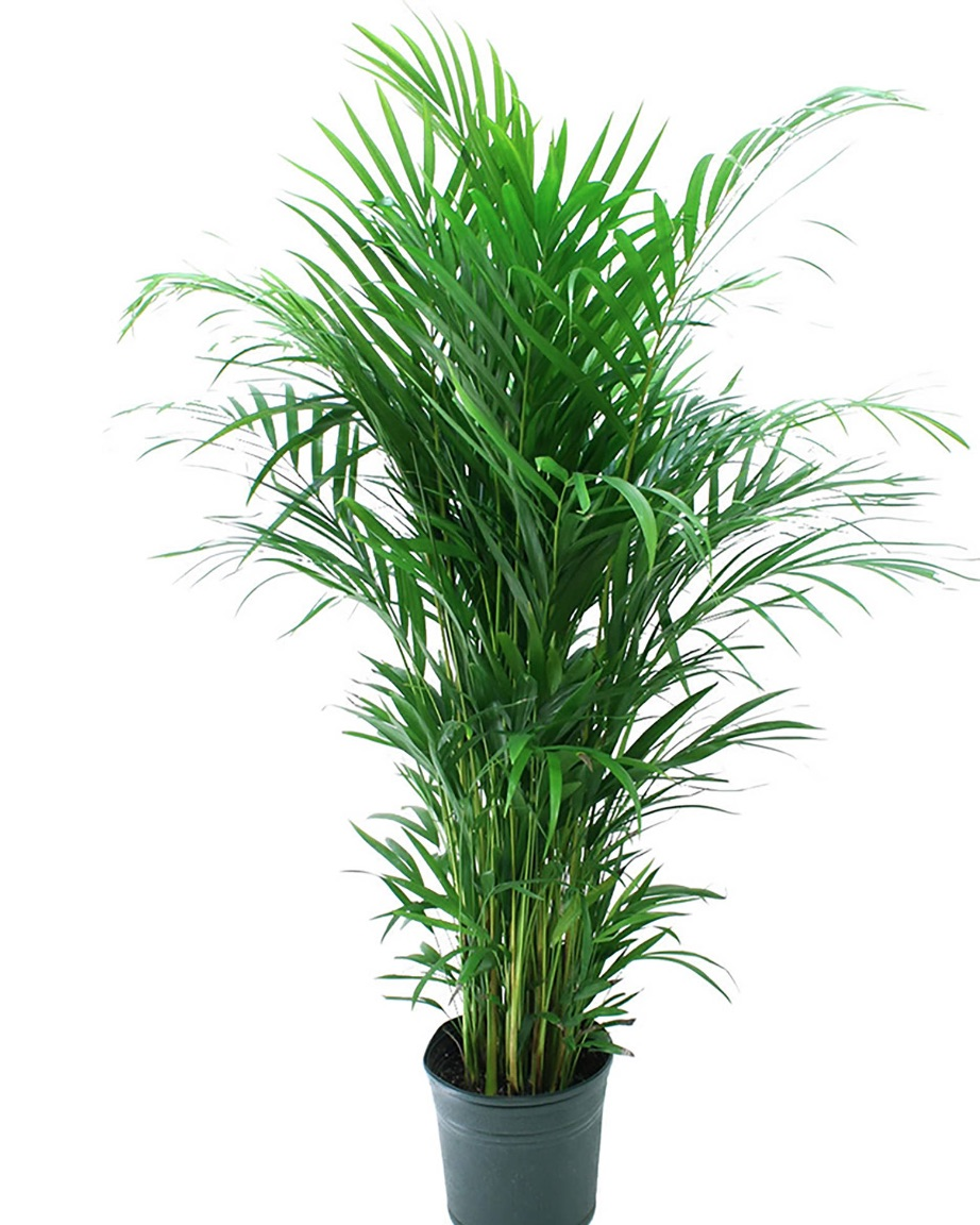 Better Air Quality Areca Palm #HousePlants #AirCleaningPlants #AirPurifyingPlants #AirPurifyingHousePlants #IndoorPlants #CleanAir