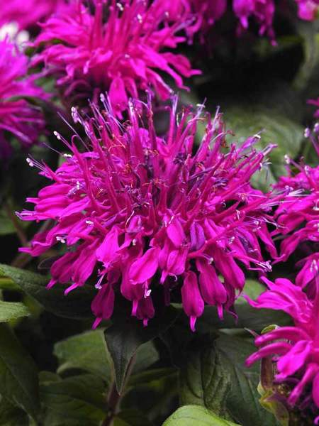 Soils Rich in Nutrients Balmy Purple Monarda #Perennials #ClayTolerantPerennials #PlantsThatThriveinClay #Gardening #ClaySoil #TolerantofClaySoils