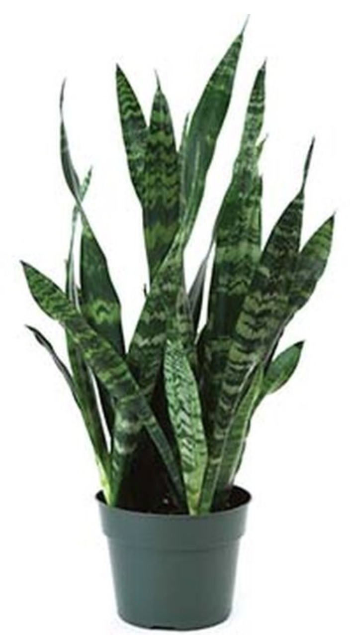 Air Purifying Plants Black Coral Snake Plant #HousePlants #AirCleaningPlants #AirPurifyingPlants #AirPurifyingHousePlants #IndoorPlants #CleanAir