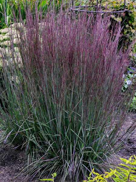 Nutrient Rich Soil Blue Paradise Schizachyrium #Perennials #ClayTolerantPerennials #PlantsThatThriveinClay #Gardening #ClaySoil #TolerantofClaySoils