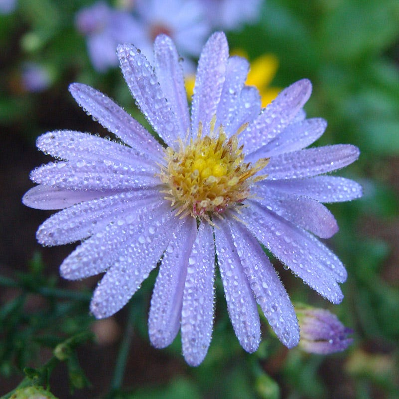 Plants that Thrive in Acidic Soils Bluebird Aster photo Mt. Cuba Center #Perennials #AcidLovingPerennials #AcidLovingPlants #Gardening #AcidicSoil