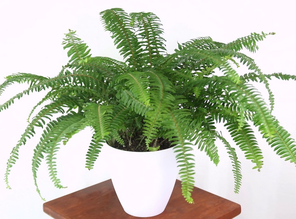 Improve Indoor Air Quality Boston Fern (Nephrolepis exaltata) #HousePlants #AirCleaningPlants #AirPurifyingPlants #AirPurifyingHousePlants #IndoorPlants #CleanAir