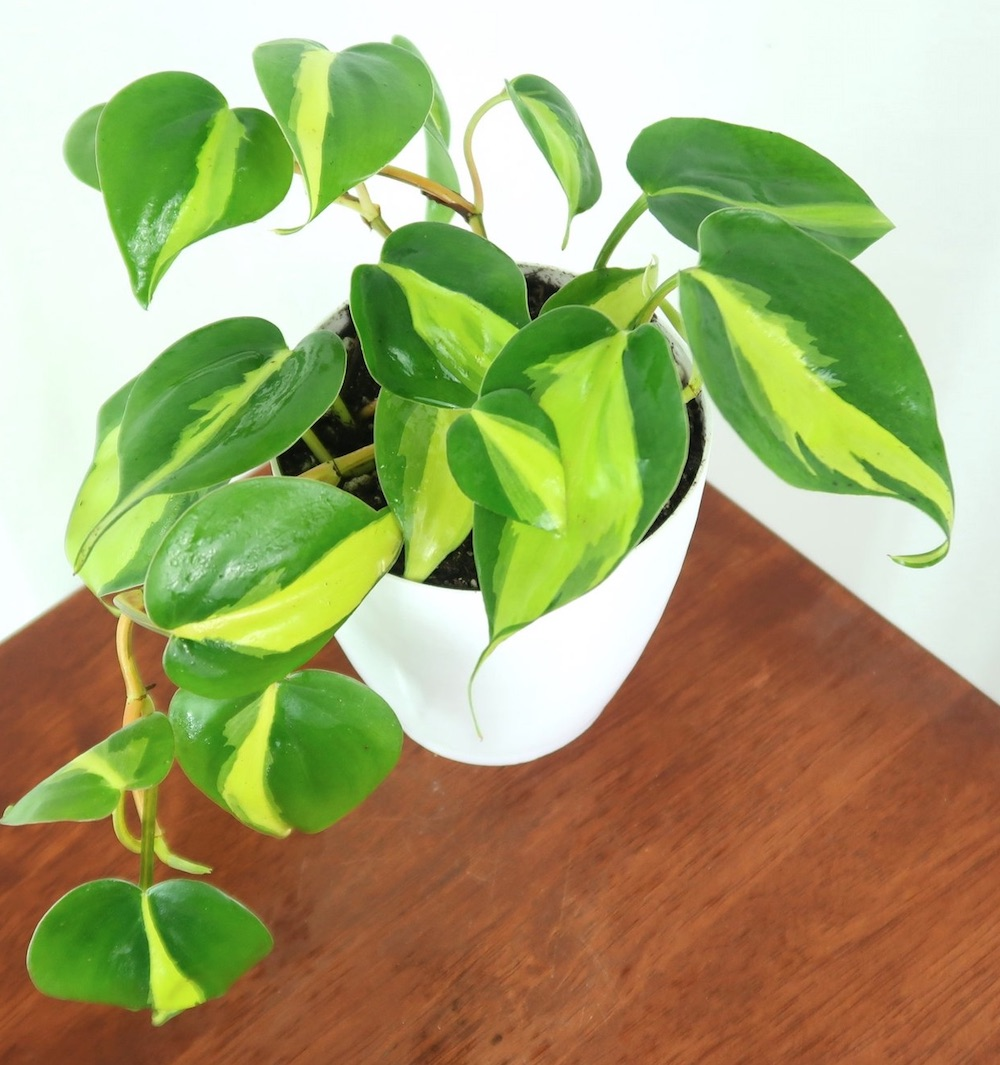 Better Air Quality Brasil Philodendron #HousePlants #AirCleaningPlants #AirPurifyingPlants #AirPurifyingHousePlants #IndoorPlants #CleanAir
