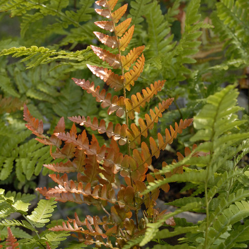 Acidic Soils Brilliance Autumn Fern #Perennials #AcidLovingPerennials #AcidLovingPlants #Gardening #AcidicSoil